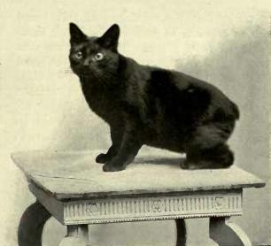 Black_Manx_cat.jpg